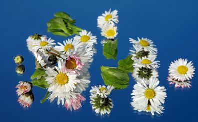 Daisy flowers on table, leaves