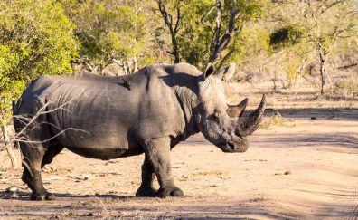 Rhino animal, wildlife