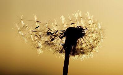 Dandelion, seeds, close up, sunset