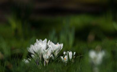 Crocus, white flowers, grass, blur