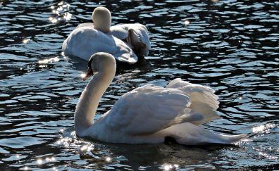 Swans birds, lake