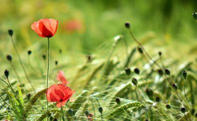 Plants, farm, wheat, poppy