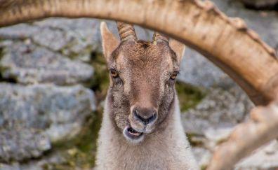 Capricorn Goat, animal, eating