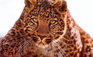 Jaguar muzzle, close up