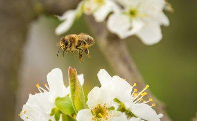 Honey bee, pollination, flowers