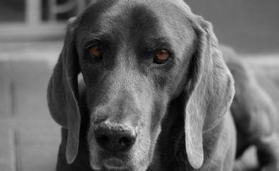 Weimaraner dog muzzle, black dog