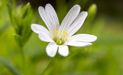 Chickweed flower, bloom, petals, pollen