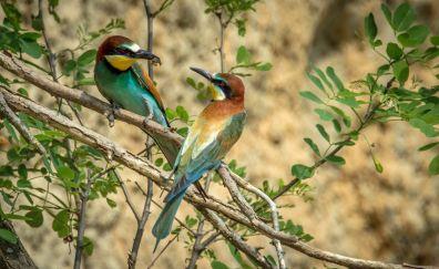 European bee-eater birds, sitting, tree branch