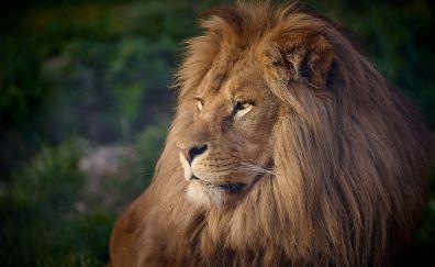 Lion, furry animal, predator
