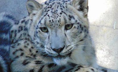 Leopard, relaxing, predator, wild cat
