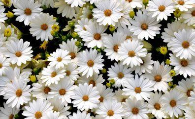 Gerbera white daisy flowers