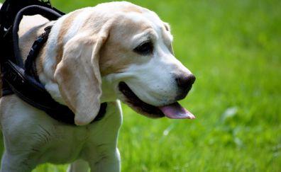 Labrador Retriever, muzzle, dog, animal, play