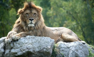 Lion, king of jungle