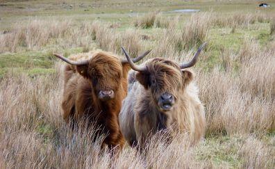 Furry cows, animal, landscape