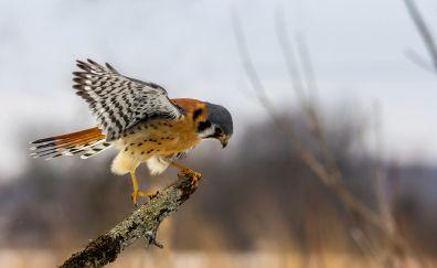 Kite, predator, bird, wings