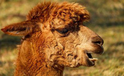 Alpaca, animal, muzzle, yawn