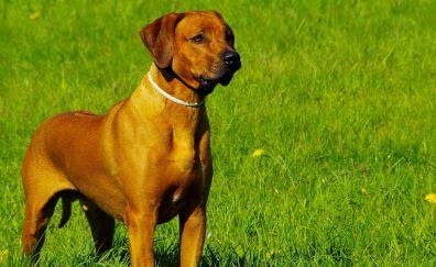 Rhodesian Ridgeback, dog, stand, guard, landscape