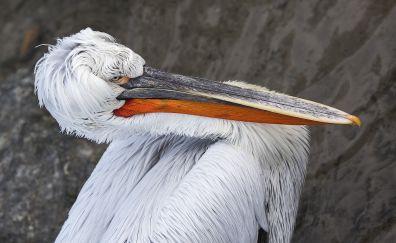 Pelican bird, big beak