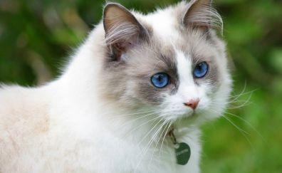 White Ragdoll cat, furry animal, pet animal