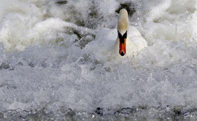 White swan, foam, water splashes, bird