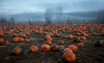 Pumpkin, vegetables farm, landscape