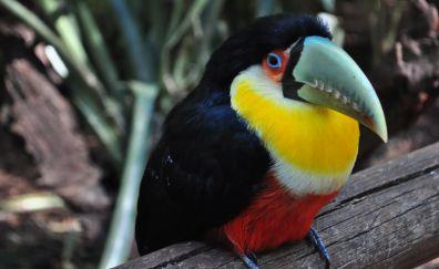 Toucan, bird, colorful, beak